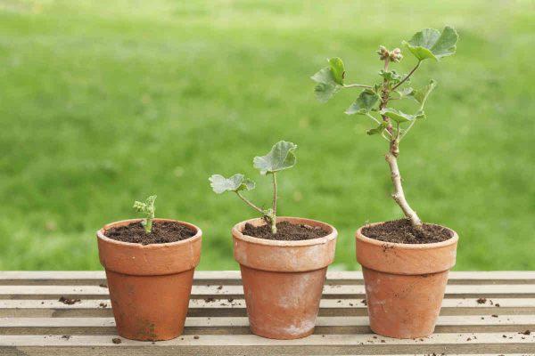 biljke u saksiji polako rastu